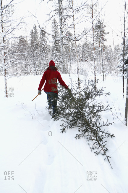 Woman carrying pine tree at winter