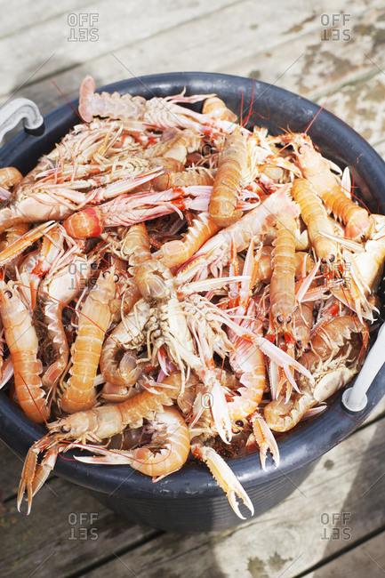 Bucket full of Norway lobsters