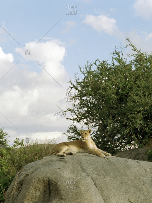 Lioness resting on a rock in Tanzania
