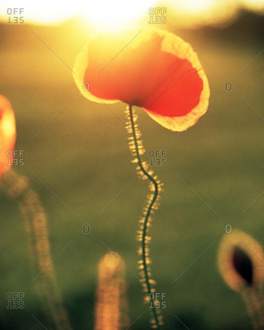 Red poppy flower at sunset