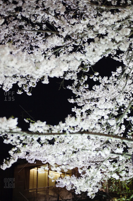 Cherry blossoms at night, Kyoto, Japan