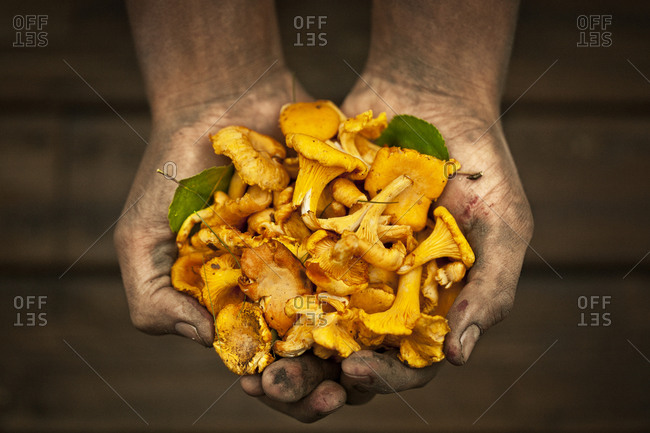 Person holding a handful of chanterelles