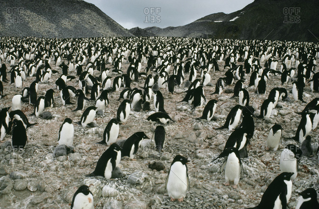 Large group of penguins