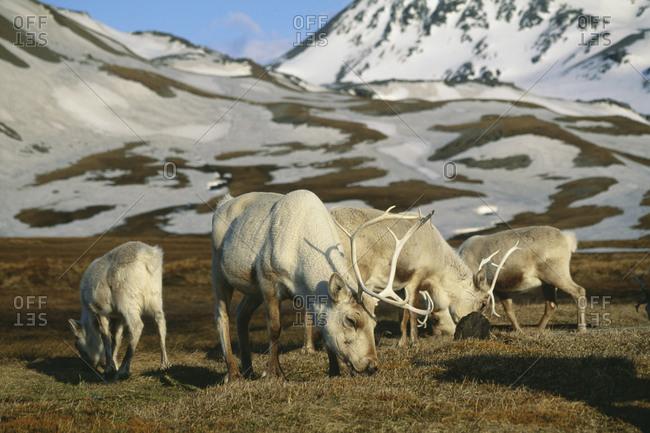 Reindeers grazing in mountains