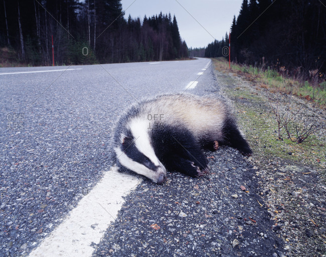 A badger lying on the street