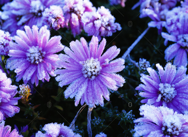 Frosty and blossoming asters