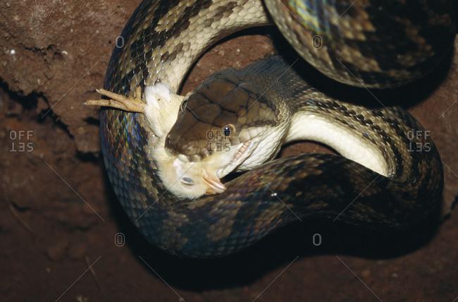 Snake feeding on chick