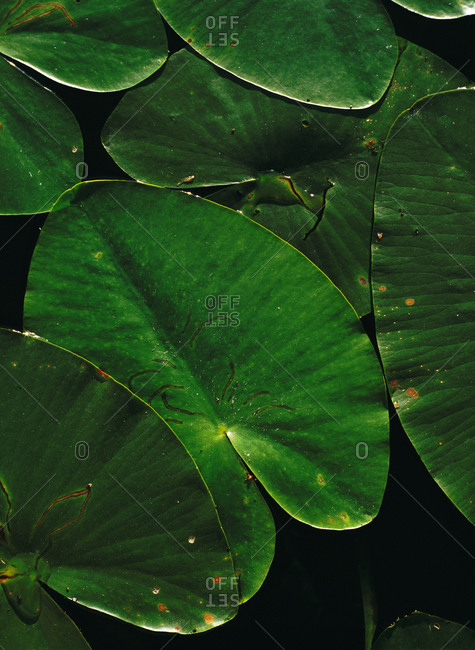 Close up of green leaves of water lilies