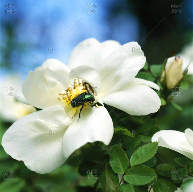 A rose chafer on a flower