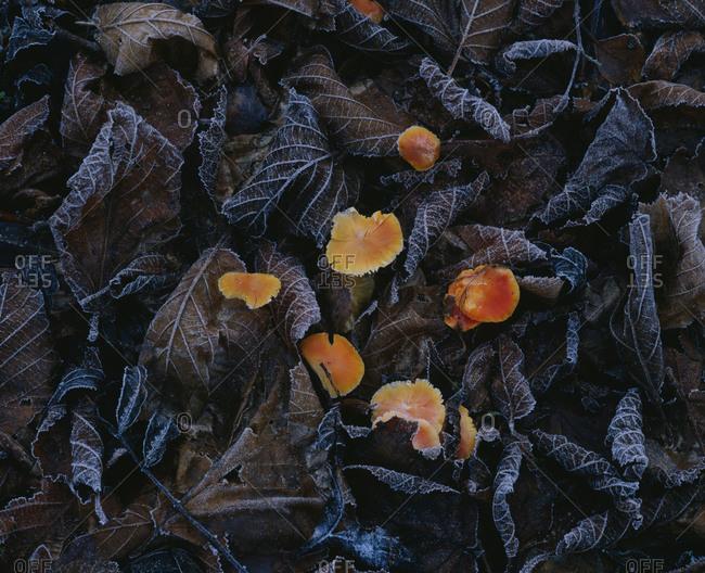 Mushrooms on dry leaves