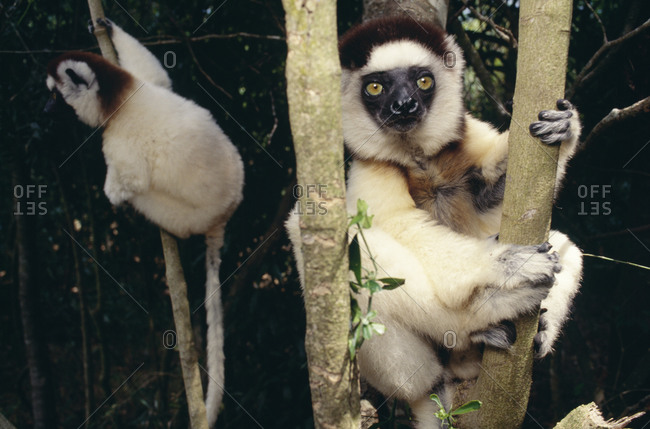 Monkeys on tree in Madagascar