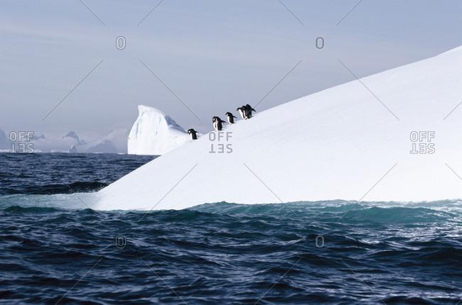 Penguins preparing to swim in the Antarctic