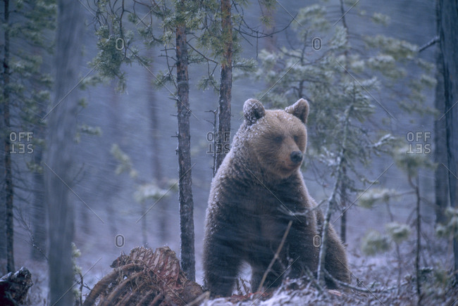 A bear in the forest during snowfall