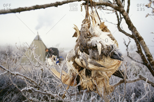 Dead birds hanging on branches