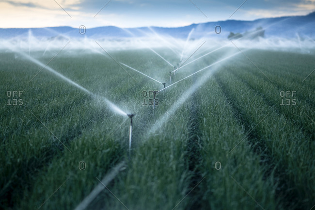 Irrigating fields of onions at dusk