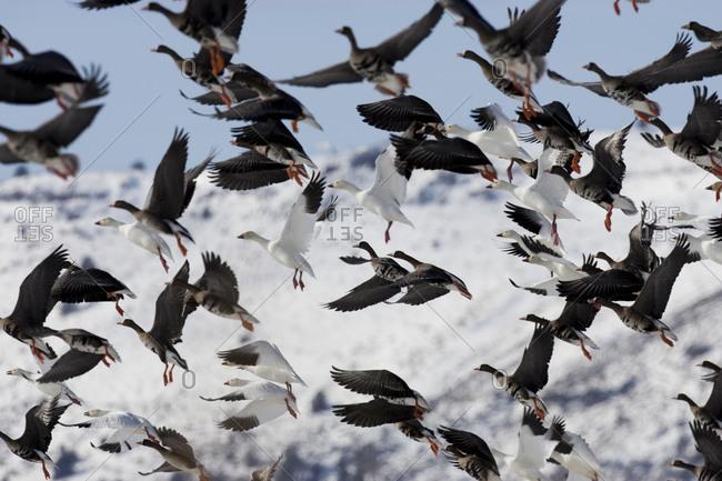 Migratory birds in Tule Lake National Wildlife refuge in winter