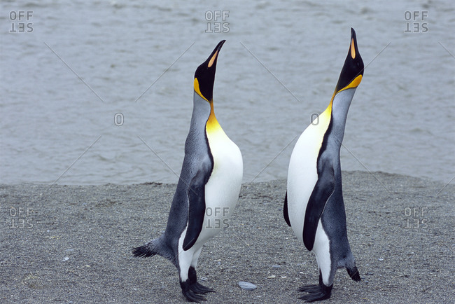 Two king penguins on a beach