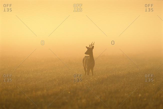 A roe deer in morning light