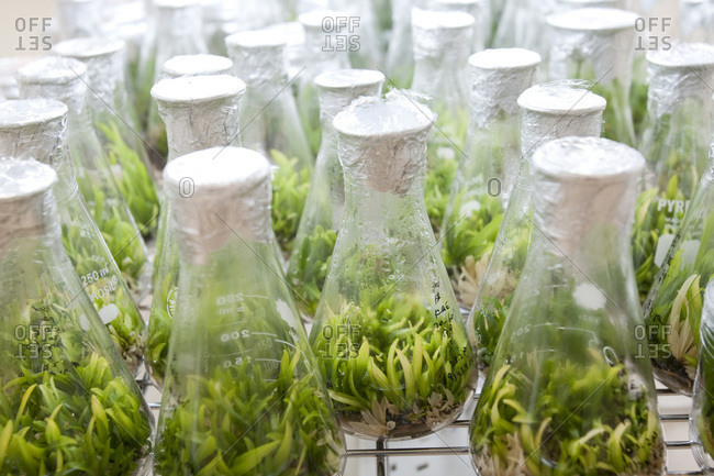 Orchids growing in jars in lab
