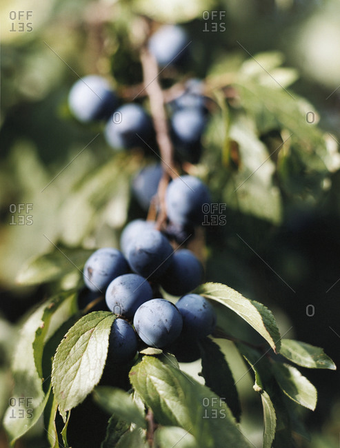 Blueberries growing on a stem