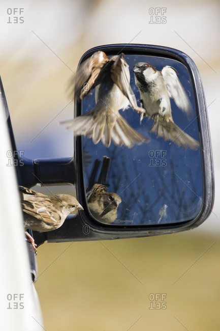 Two house sparrows looking at themselves in a wing mirror