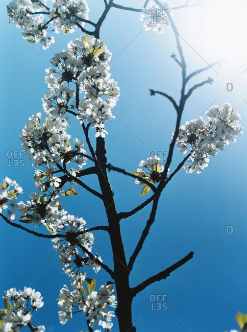 Apple blossoms on a blue sky