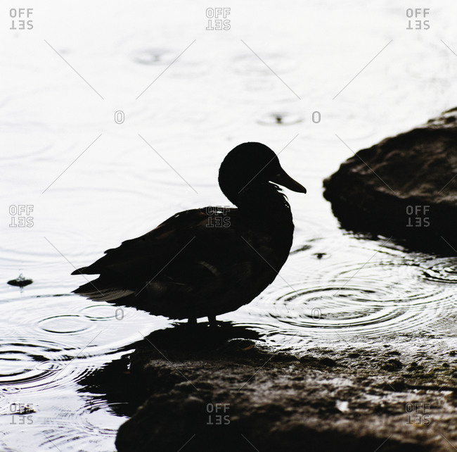 Silhouette of a duck at a sea