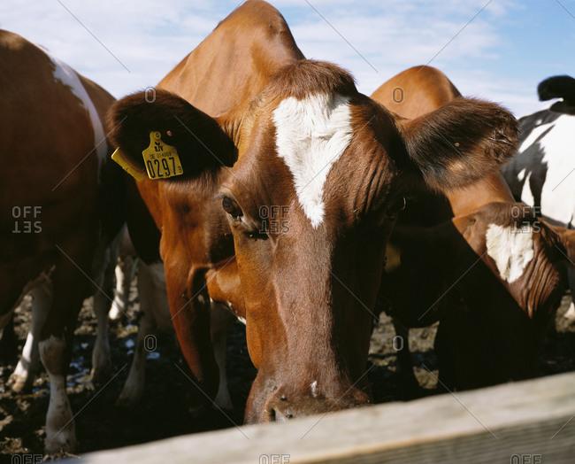 Cows grazing on a farm