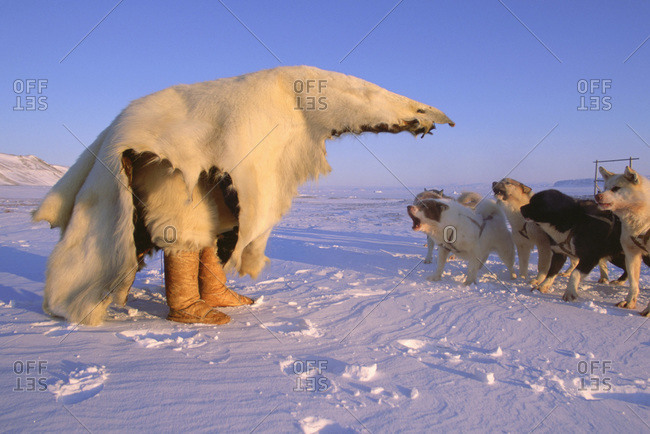 Inuit hunter training dogs to fear polar bears