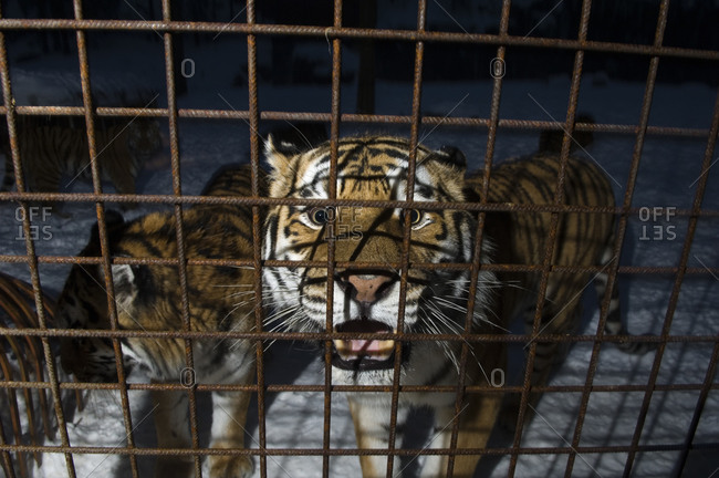 A tiger in a cage in Ostergotland, Sweden