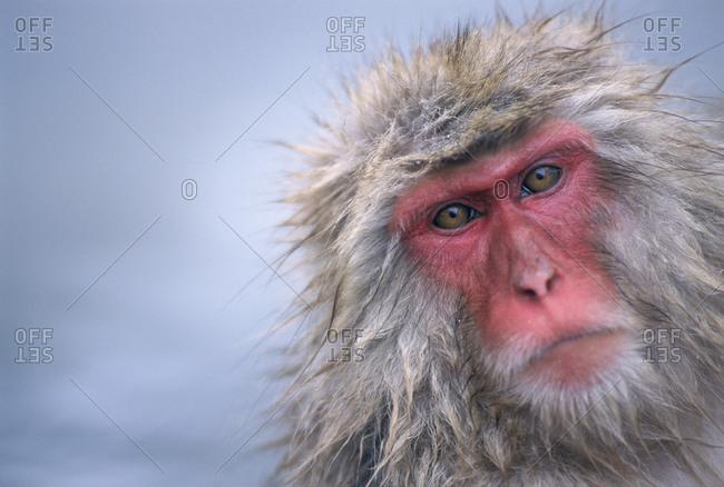 Japanese macaque in Jigukudani, Honshu, Japan