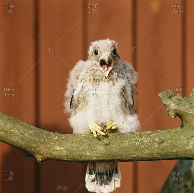 Common kestrel chick perched on a branch