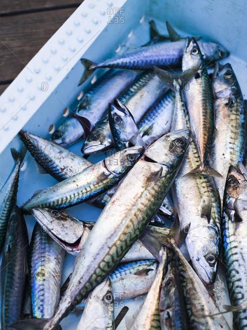 Fresh mackerels in a crate