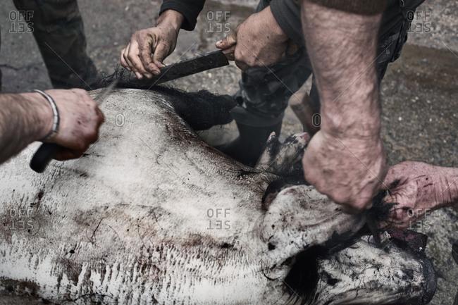 Men shave a dead pig