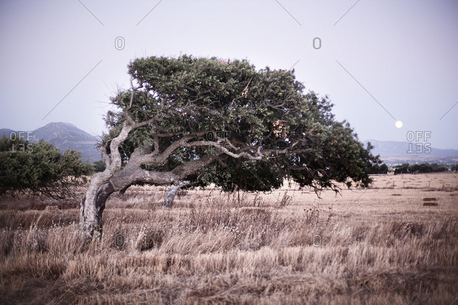 A tree in the Sardinian countryside