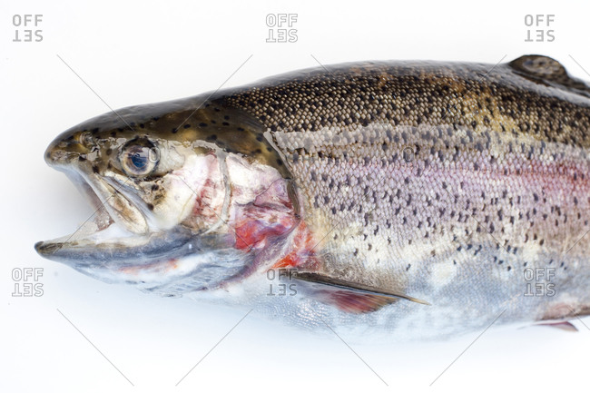 Close up of the head of a rainbow trout