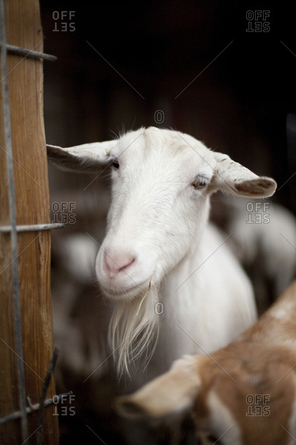 A white bearded goat at a dairy farm