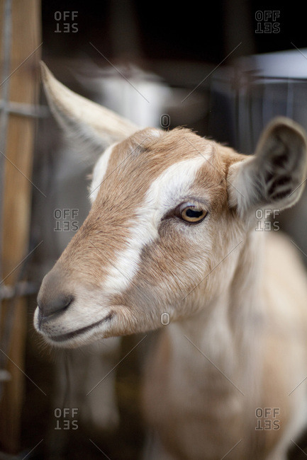 A goat at a dairy farm