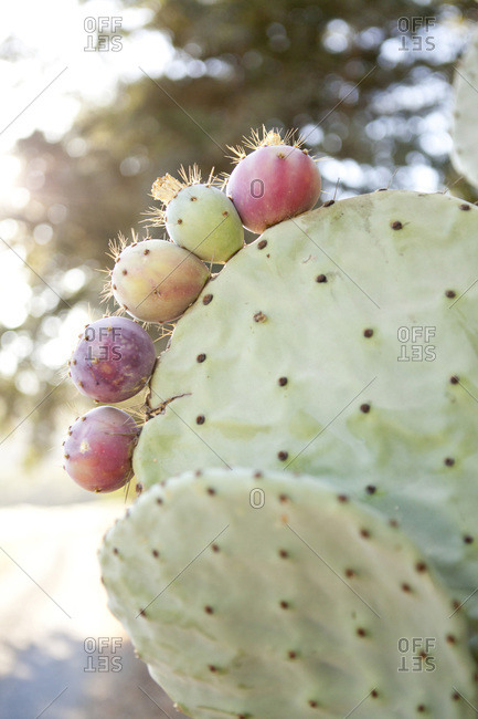 Fruits on a prickly pear cactus paddle