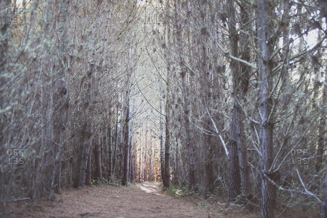 Trail through a dense pine forest