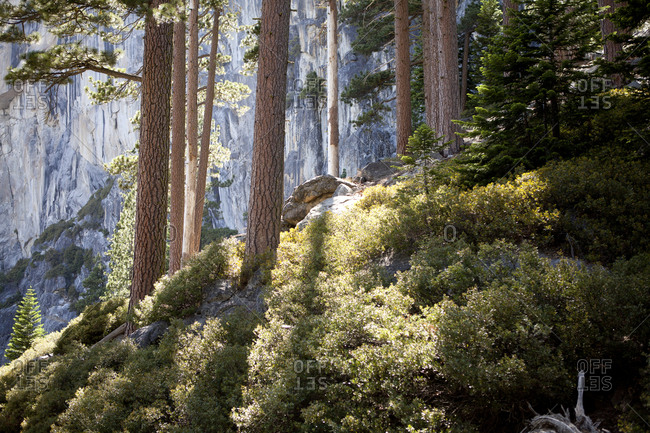 Sunlight streaming through pine trees on a steep slope in the wilderness