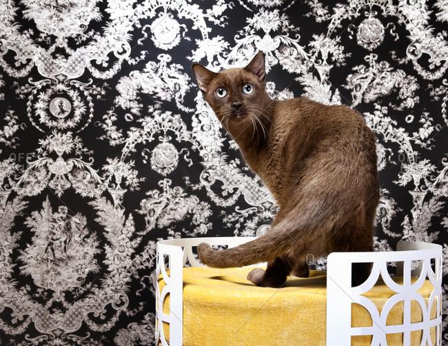 A Burmese cat in a cat bed