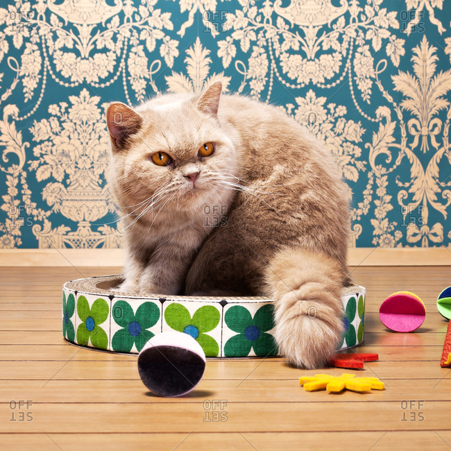 An exotic shorthair cat on a scratching pad
