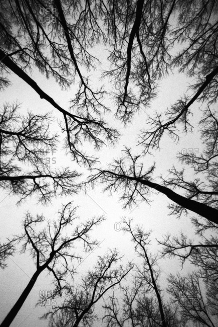 Looking up through tall trees in winter
