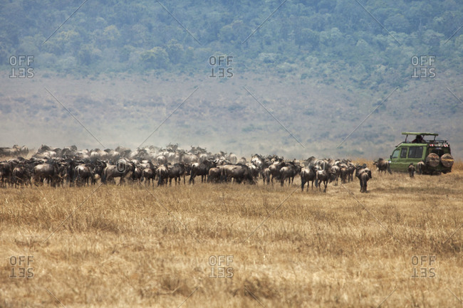 A safari vehicle drives through a herd of wildebeests