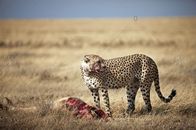A cheetah eating a gazelle