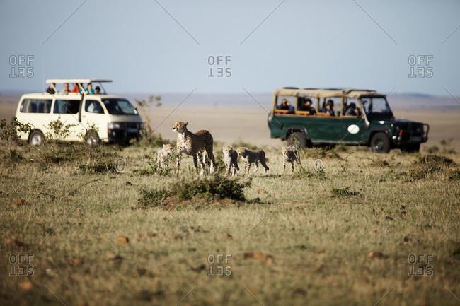 Tourists observing cheetahs in Kenya, Masai Mara