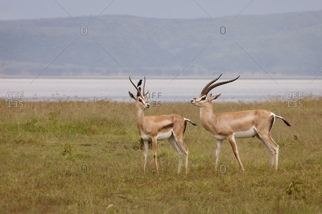 Two gazelles in Lake Nakuru National Park, Kenya