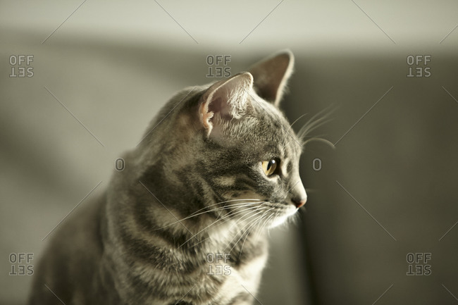 Gray striped cat staring off