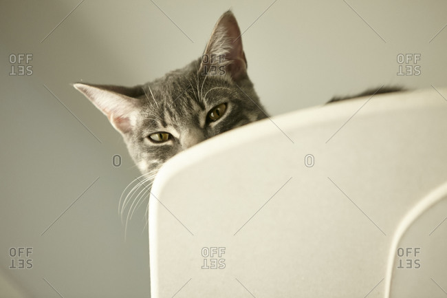 Gray striped cat peeking over chair